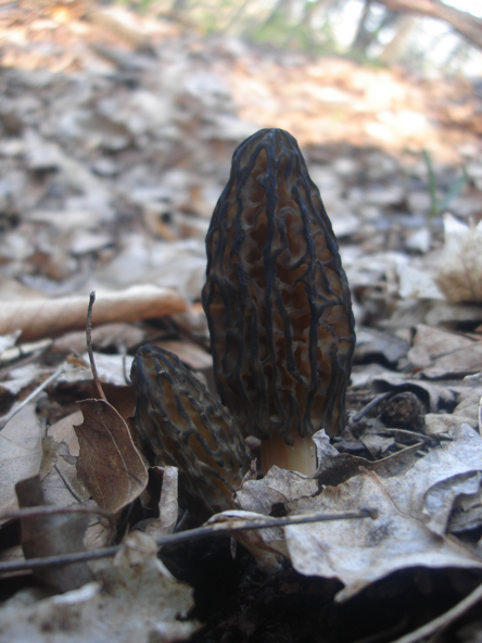 Black Morel Mushrooms