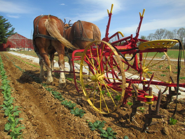 Draft Horses Plowing