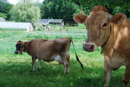 Cows in Vermont Pasture