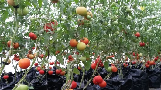 Greenhouse Tomato Production