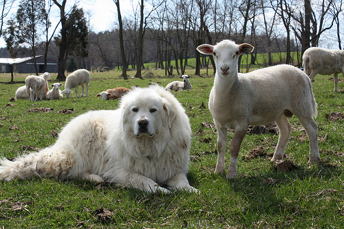 Big White Dog That Protects Sheep