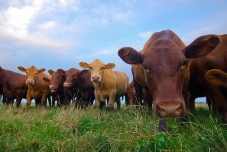 Photo: Cattle Grazing, Flickr