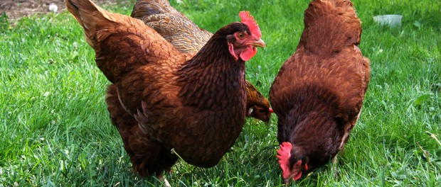 Diy Chicken Waterer Saves Time And Keeps Water Clean