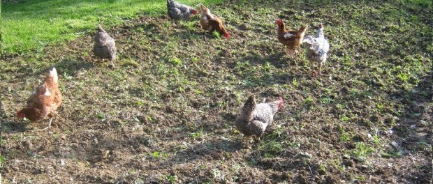 Chickens in the Garden by Barefoot Kentucky Mama