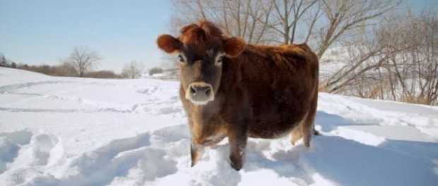 Cow Photo by WPR