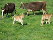 biodynamic cows