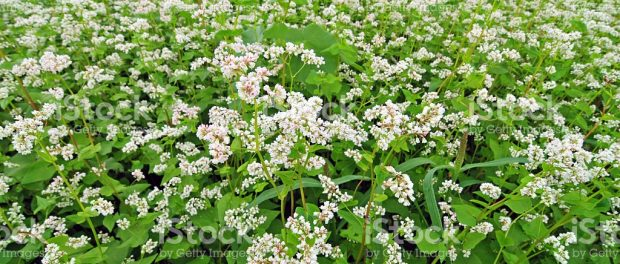Buckwheat Benefits Nature