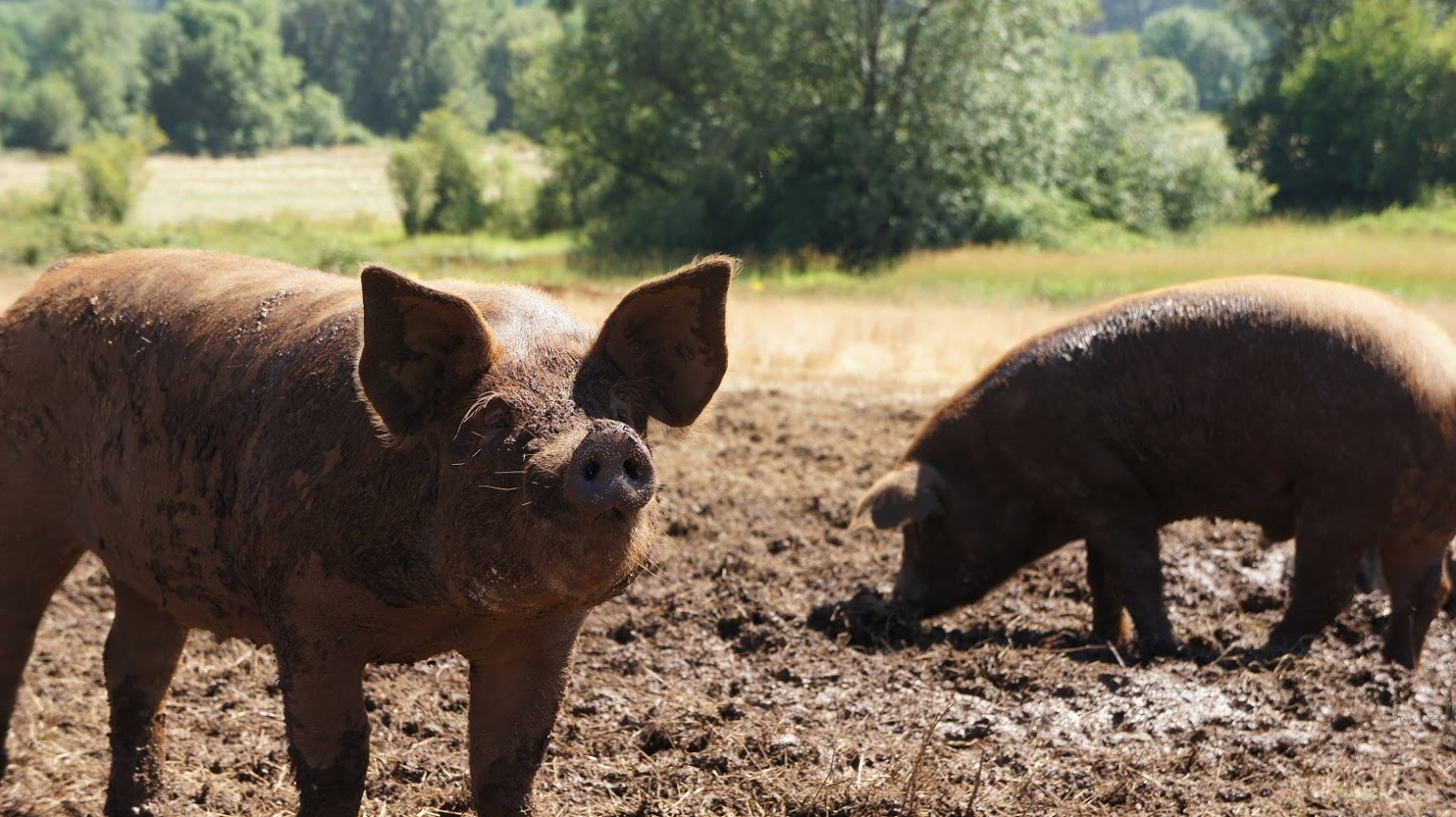 picture of pigs in the mud