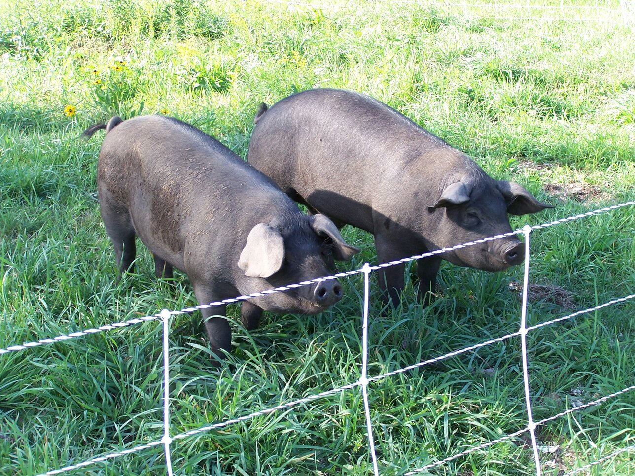 Pigs on Pasture, Soil Fertility, and More